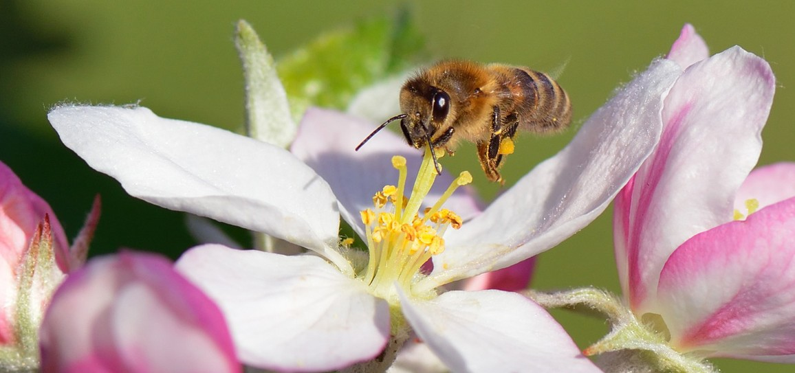 abeille pesticides néonicotinoïdes